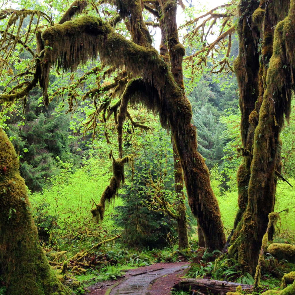 Hoh Rain Forest on the Pacific Coast Scenic Byway